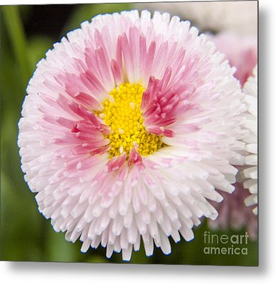 Pink Button Flower Metal Print by Darleen Stry