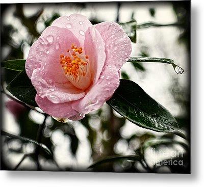 Pink Camellia With Raindrops Metal Print
