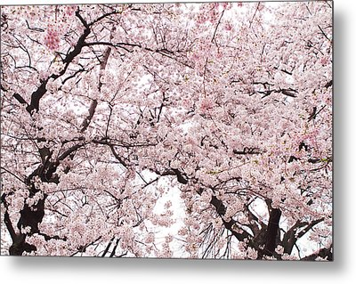 Pink Cherry Blossom Tree Metal Print by Ariane Moshayedi