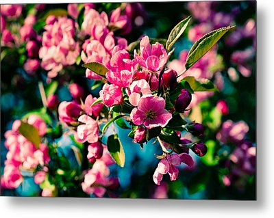 Metal Print featuring the photograph Pink Crab Apple Flowers by Alexander Senin