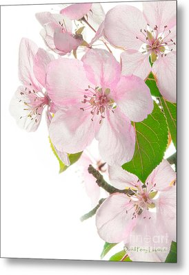 Pink Crabapple Blissoms Metal Print by David Perry Lawrence