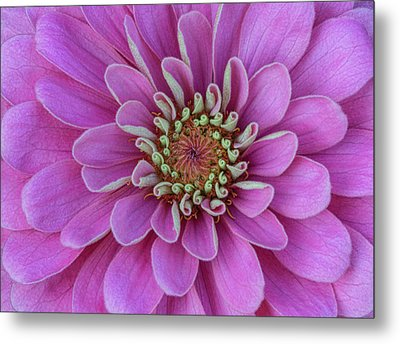Metal Print featuring the photograph Pink Dahlia by Dale Kincaid