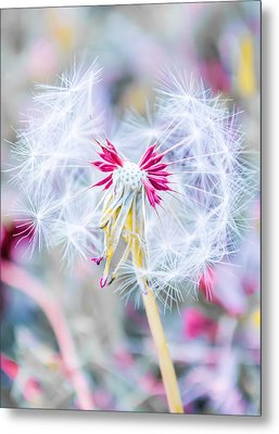 Metal Print featuring the photograph Pink Dandelion by Parker Cunningham