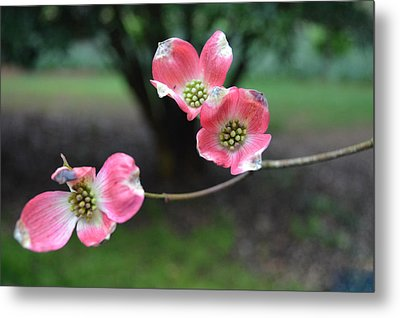 Metal Print featuring the photograph Pink Dogwood by Linda Geiger