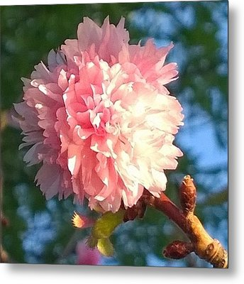 Pink Flower Bloom In Sunset. #flowers Metal Print