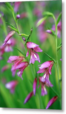 Pink Flowers Of Gladiolus Communis Metal Print by Frank Tschakert