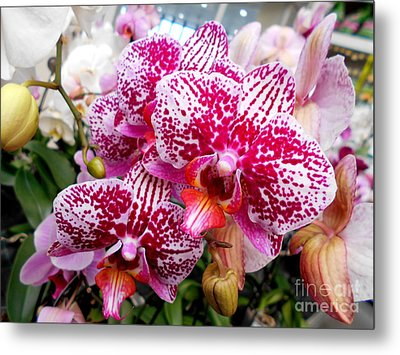 Pink Moth Orchids Metal Print