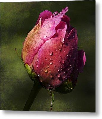 Pink Peony Bud With Dew Drops Metal Print