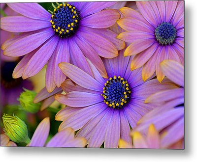Pink Petals And Blue Buttons Metal Print by Julie Palencia