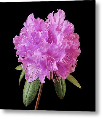 Pink Rhododendron  Metal Print by Jim Hughes