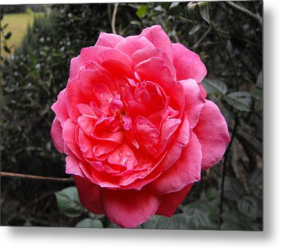 Pink Rose Metal Print by Adam Cornelison