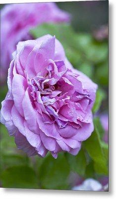 Pink Rose Flower Metal Print by Frank Tschakert