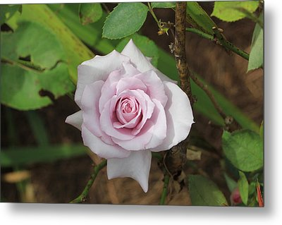 Pink Rose Metal Print by Jerry Battle