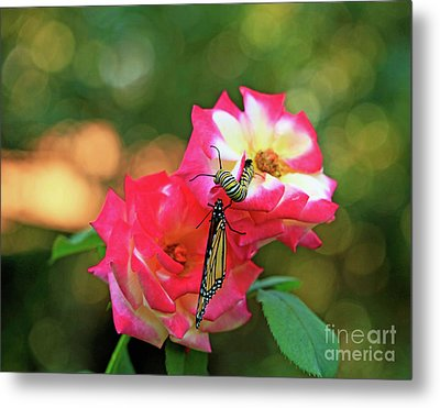 Pink Roses And Butterfly Photo Metal Print