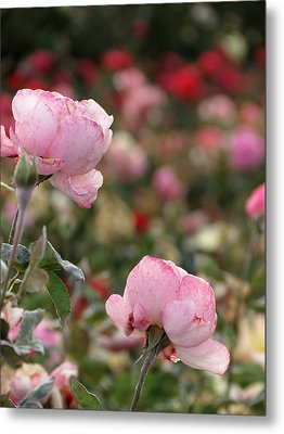 Metal Print featuring the photograph Pink Roses by Laurel Powell