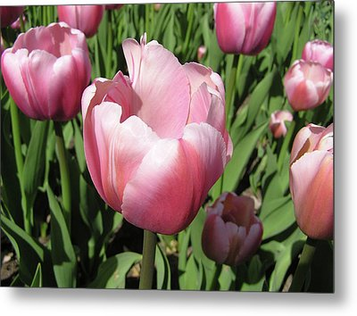 Pink Tulip Metal Print by Richard Mitchell
