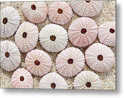Pink Urchin Shells Metal Print by Brandon Tabiolo