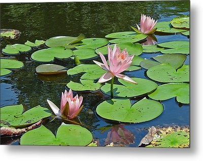 Pink Water Lilies Metal Print by Suzanne Gaff