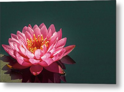 Pink Water Lily  Metal Print by Christina Lihani