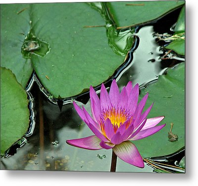 Metal Print featuring the photograph Pink Water Lily by Judy Vincent