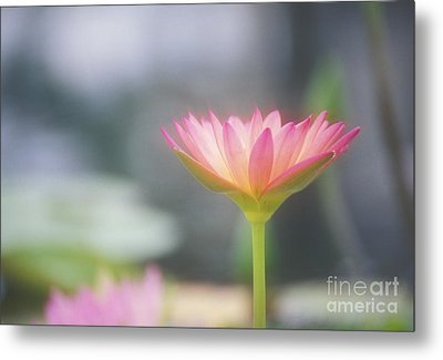 Pink Water Lily Metal Print by Ron Dahlquist - Printscapes