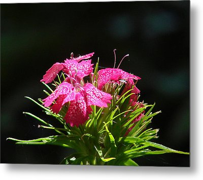 Pink William Metal Print