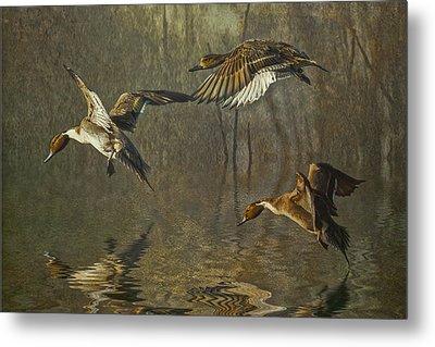 Pintail Ducks Metal Print by Brian Tarr