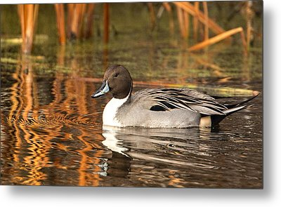 Metal Print featuring the photograph Pintail by Kelly Marquardt
