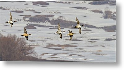 Pintails - Courtship Flight Metal Print by TL Mair
