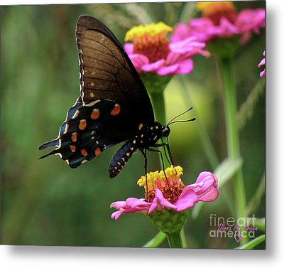 Metal Print featuring the photograph Pipevine Swallowtail Butterfly by Donna Brown