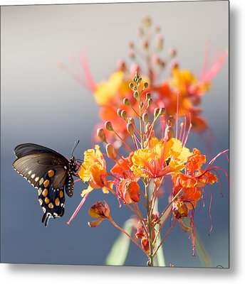 Metal Print featuring the photograph Pipevine Swallowtail by Dan McManus