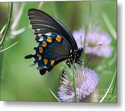 Pipevine Swallowtail Metal Print by Randy Bodkins