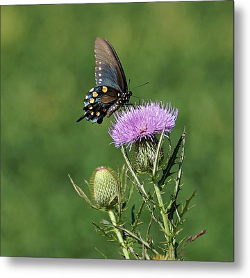 Metal Print featuring the photograph Pipevine Swallowtail by Sandy Keeton