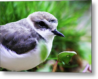 Metal Print featuring the photograph Piping Plover by Anthony Jones