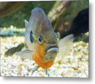 Piranha Behind Glass Metal Print
