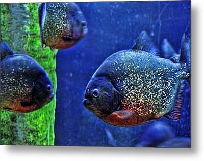 Metal Print featuring the photograph Piranha Blue by Jan Amiss Photography