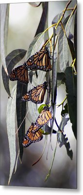 Metal Print featuring the photograph Pismo Butterflies by Gary Brandes