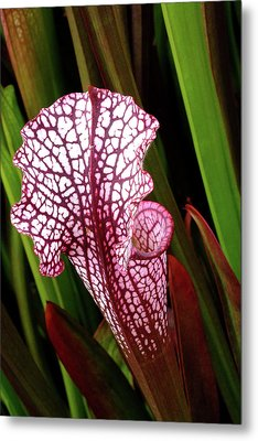 Pitcher Plant Metal Print by Bill Morgenstern