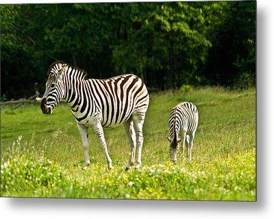 Plains Zebra 1 Metal Print by Douglas Barnett