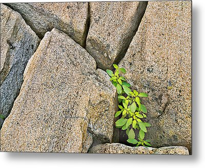 Plant In Granite Crevice Abstract Metal Print