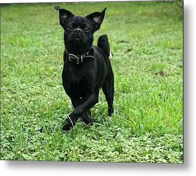 Playful Frenchie  Metal Print by Laurie Perry