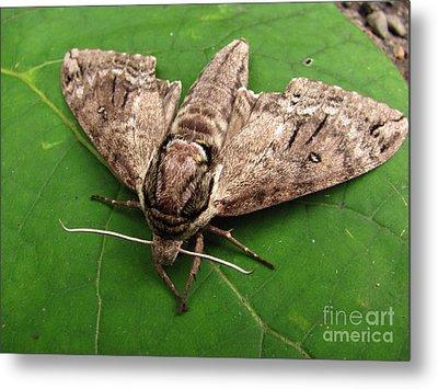 Plebeian Sphinx Moth Metal Print