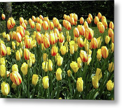 Metal Print featuring the photograph Plenty Of Tulips by Manuela Constantin