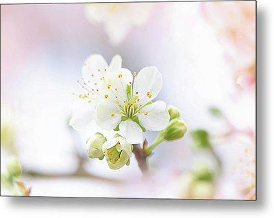 Plum Blossom Metal Print by Jacky Parker