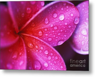 Plumeria Blossom Metal Print by Ron Dahlquist - Printscapes