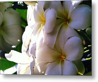 Plumeria In The Sun Metal Print
