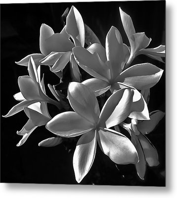 Plumeria Proper Evening Metal Print by Gwyn Newcombe