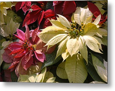 Poinsettias At Doi Tung Palace Metal Print by Anne Keiser
