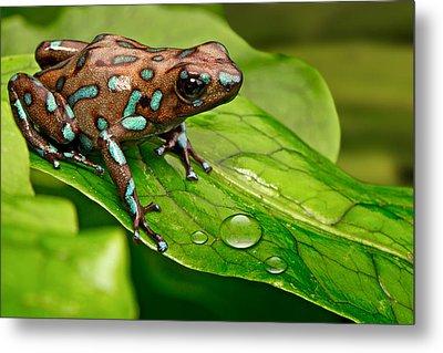 poison art frog Panama Metal Print