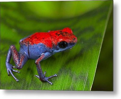 poison dart frog Escudo Metal Print